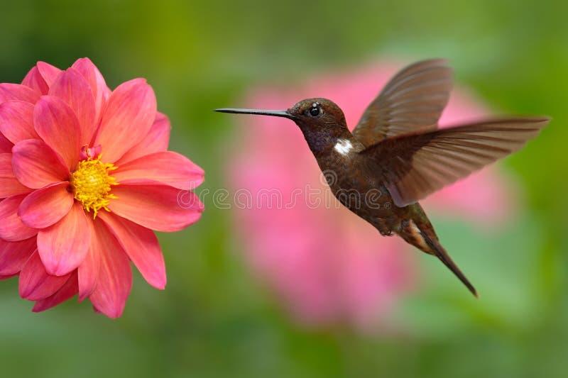 Inca di Brown del colibrì, wilsoni di Coeligena, volante accanto al bello fiore rosa, fioritura rosa nel fondo, Colombia immagini stock libere da diritti