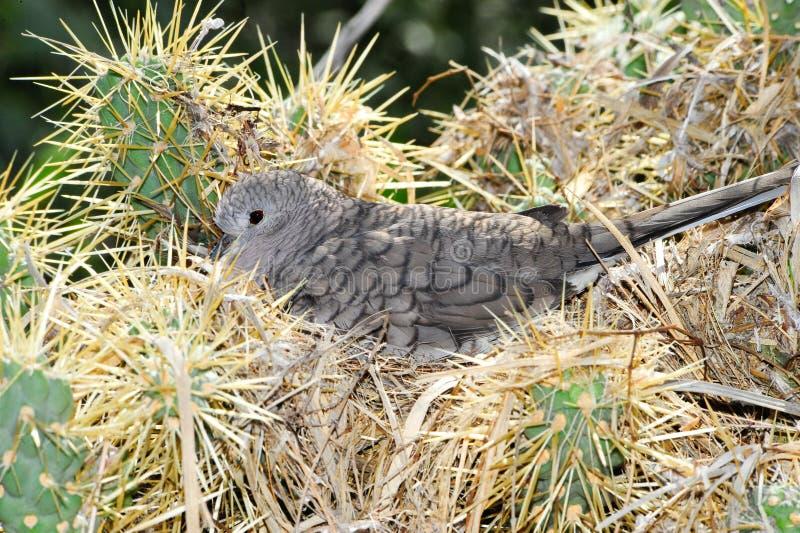 Download Inca Dove stock image. Image of grey, scardafella, bird - 14699589