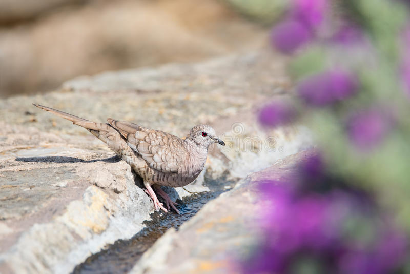 Inca Dove Drinking On Hot Texas Day royaltyfri fotografi