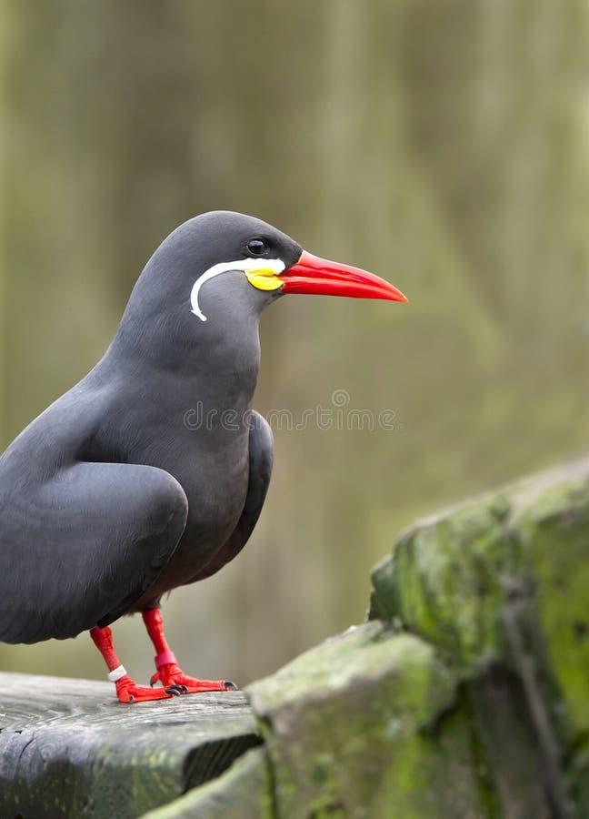 Inca Tern Royalty Free Stock Photography