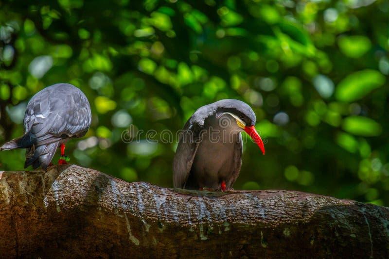 Inca Tern Bird Pair arkivfoton