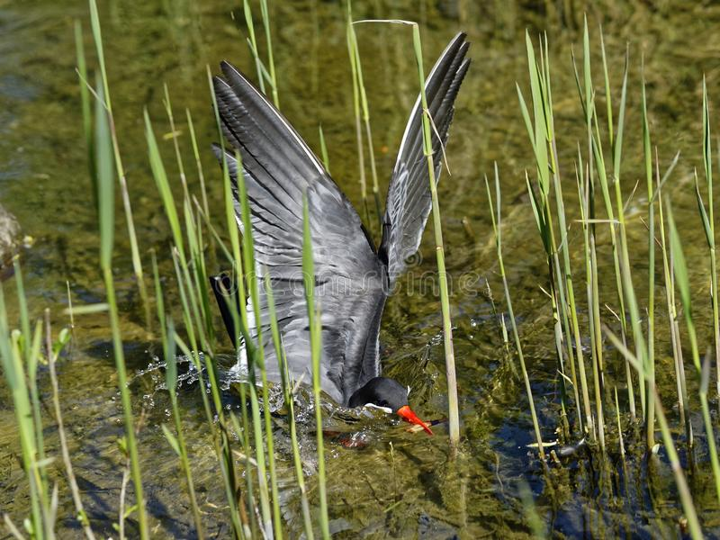 Inca tern bird swoops down into shallow water. The South-American seabird Inca tern swooping into the shallow water between grasses for a catch stock photos