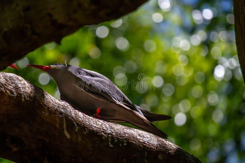 Inca Tern Birds arkivbilder