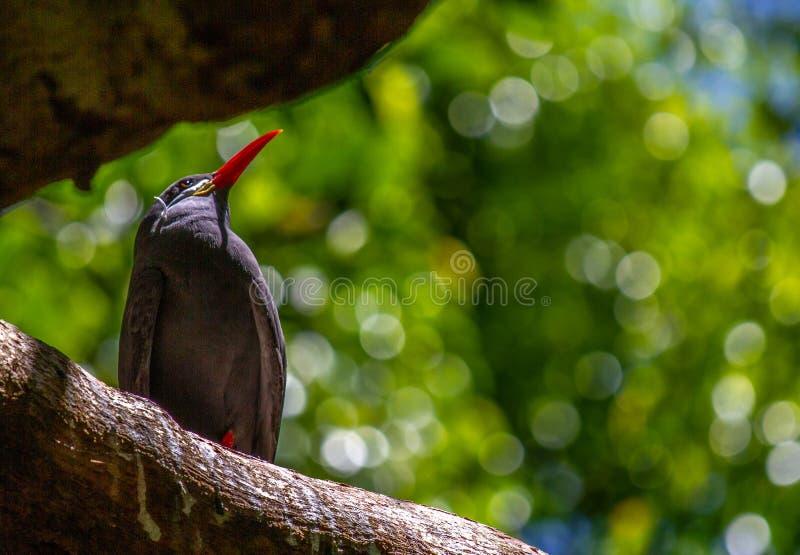 Inca Tern Birds arkivfoto