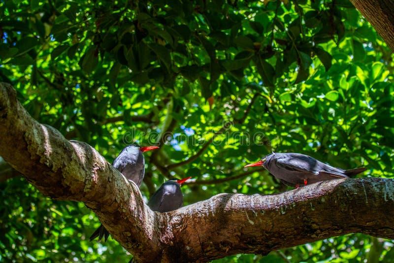 Inca Tern Birds royaltyfri fotografi