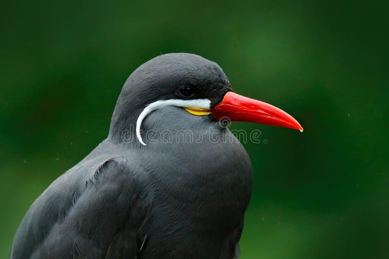 Inca Tern, inca de Larosterna, pássaro no ramo de árvore Retrato da andorinha-do-mar do pássaro peruano da costa no habitat da fl fotografia de stock
