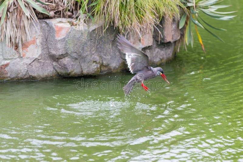 Inca Tern & x28; Inca& x29 de Larosterna; fora voo manchado na lagoa fotos de stock