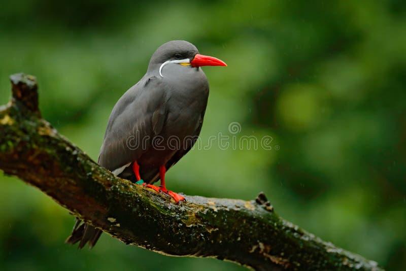 Inca Tern, inca de Larosterna, pássaro no ramo de árvore Andorinha-do-mar do pássaro peruano da costa no habitat da floresta do m foto de stock