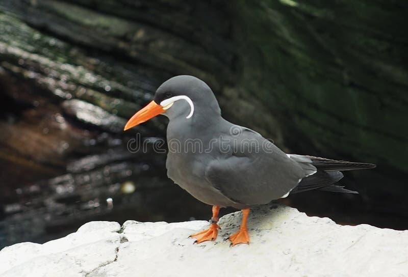 Inca Tern Or Larosterna Inca arkivfoto