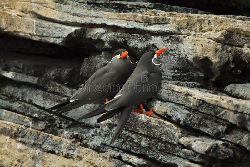 Inca Tern Larosterna inca fotografering för bildbyråer