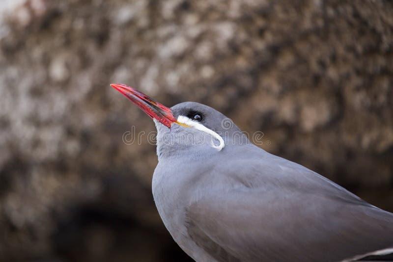 Inca Tern (Larosterna inca) fotografering för bildbyråer