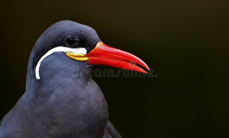 Inca Tern (Larosterna inca) arkivfoto
