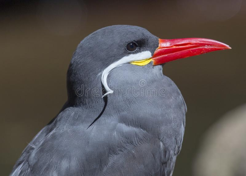 Inca Tern (Larosterna inca) royaltyfria foton