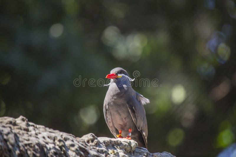 Inca Tern (Larosterna inca) arkivfoton