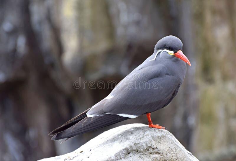Inca Tern um pássaro litoral original para Ámérica do Sul imagem de stock