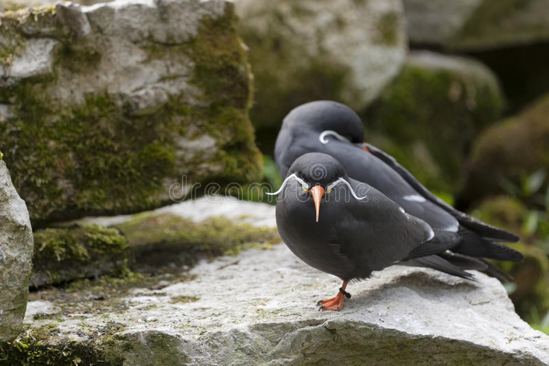 Inca Terns arkivfoto
