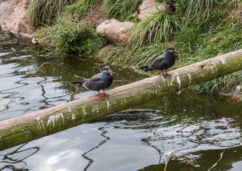Inca Terns fotografering för bildbyråer