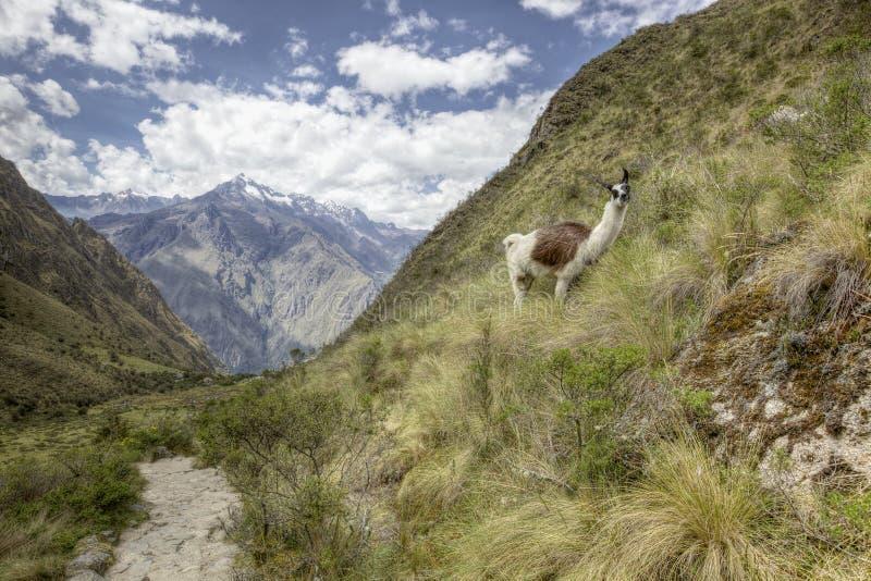 Inca trail Llama stock photography