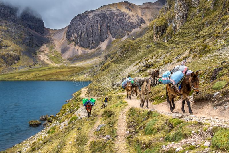 The Inca Trail, Peru - Loaded Andean Horses carrying Camping Equipment alongside the Lake down from the Wakawasi Pass. Loaded Andean Horses carrying Camping royalty free stock photography