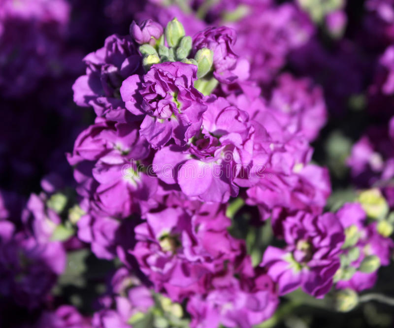 Download Incana 'ópera Débora' Del Matthiola Foto de archivo - Imagen de flores, bueno: 64202544