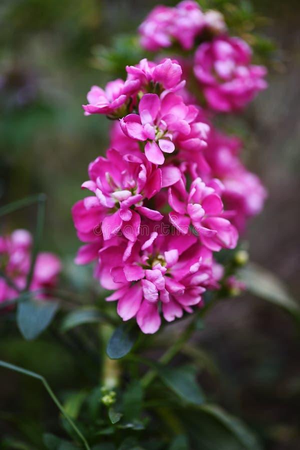 Incana cor-de-rosa do Matthiola imagem de stock royalty free