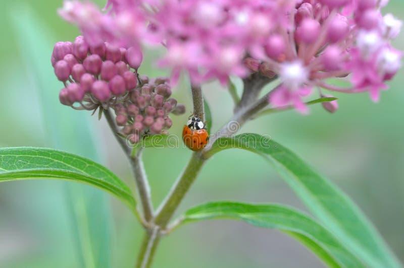 Incarnata και Ladybug Asclepias Milkweed στοκ φωτογραφία με δικαίωμα ελεύθερης χρήσης