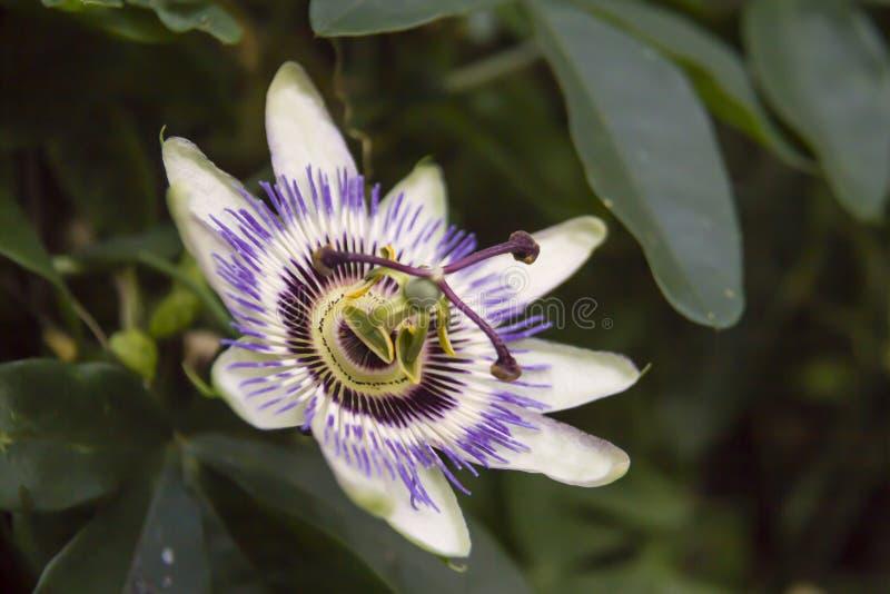 Incarnata пассифлоры, обыкновенно известное как maypop, фиолетовый passionflower, истинный passionflower, одичалый абрикос, и оди стоковое фото