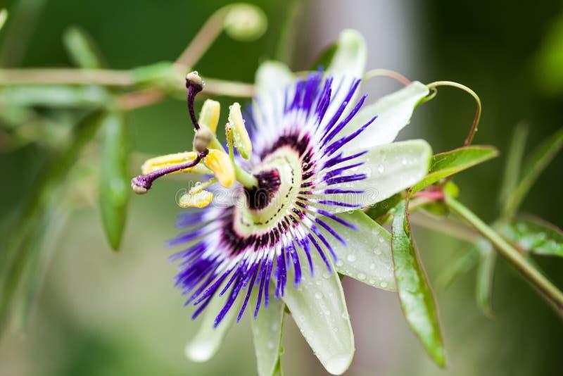 Incarnata de la pasionaria de la flor de la pasión fotografía de archivo