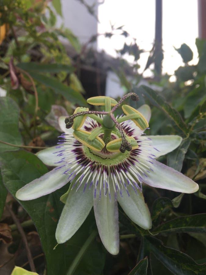Incarnata do Passiflora imagem de stock