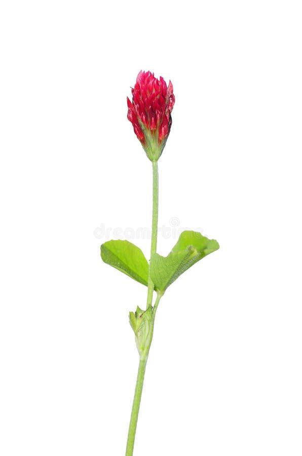 incarnatum koniczynowy ciemnopąsowy trifolium zdjęcie royalty free