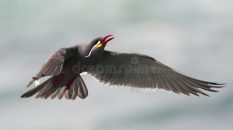 Incastern, Inca Tern, inca de Larosterna fotografia de stock