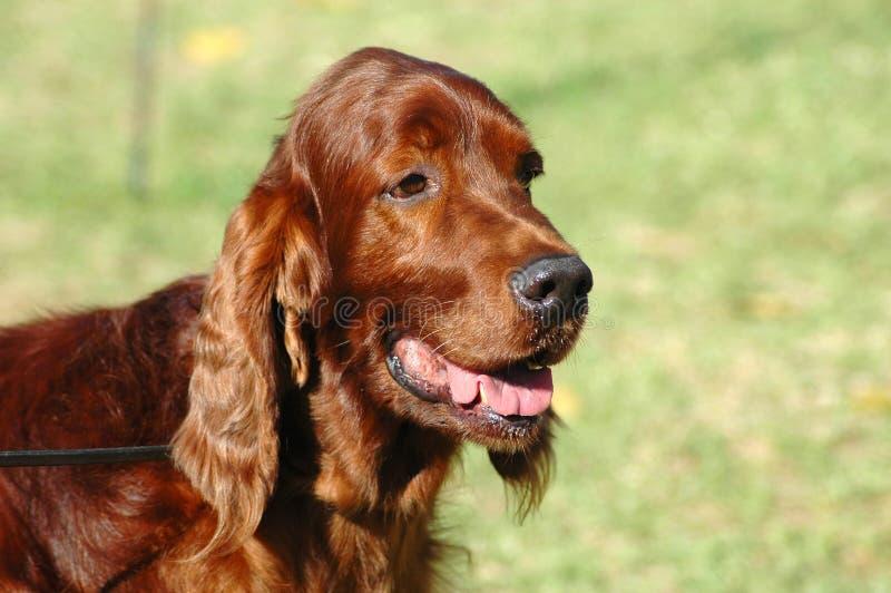 Incastonatore irlandese del cane fotografie stock libere da diritti