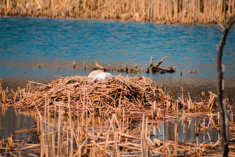 Incastramento del cigno muto in uno stagno a Grand Rapids Michigan fotografie stock
