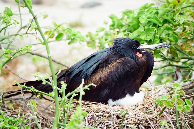 Incastramento dell'uccello di fregata del Galapagos immagine stock libera da diritti