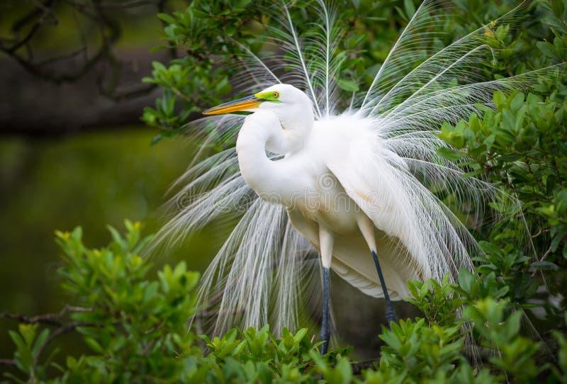 Incastramento della fauna selvatica dell'airone bianco maggiore alla colonia di corvi dell'uccello della natura di Florida fotografie stock