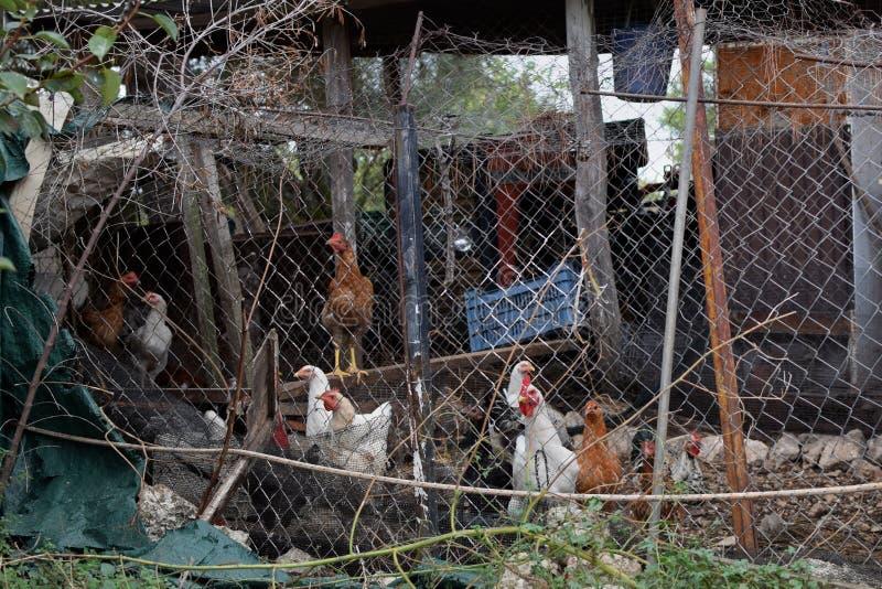 Incastramento libero del pollame della gamma nella baracca arrugginita fotografia stock