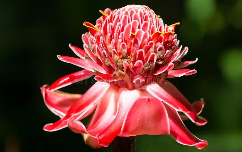 Incendiez la fleur de gingembre, vue dans les jardins botaniques de balata près du Fort de France, île de la Martinique photos libres de droits