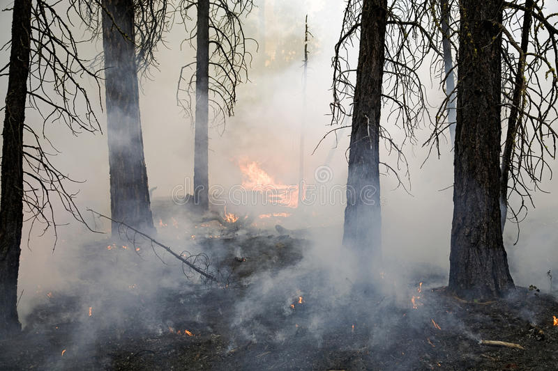 Incendio forestale in una foresta del pino fotografia stock libera da diritti