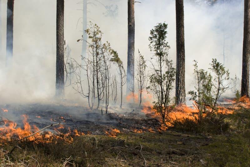 Incendio violento nella foresta immagini stock
