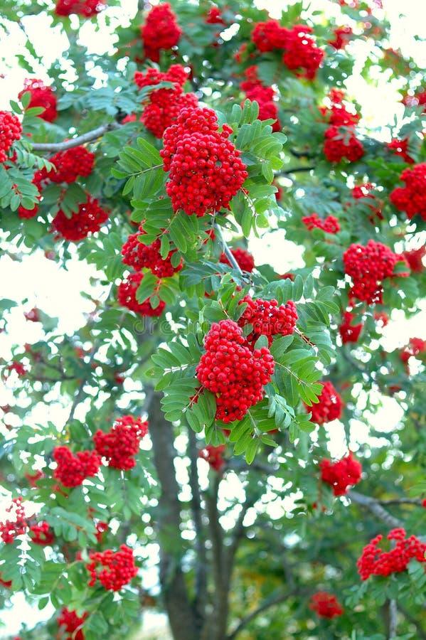 Incenerisca l'albero (della sorba) e ashberry (sorba). immagine stock