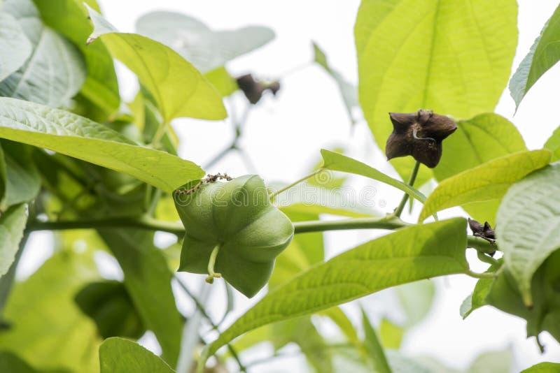 Inchi di Sacha, arachide di Sacha, arachide di inca, volubilis L della montagna o di sopra dell'arachide di Plukenetia piante fotografie stock libere da diritti