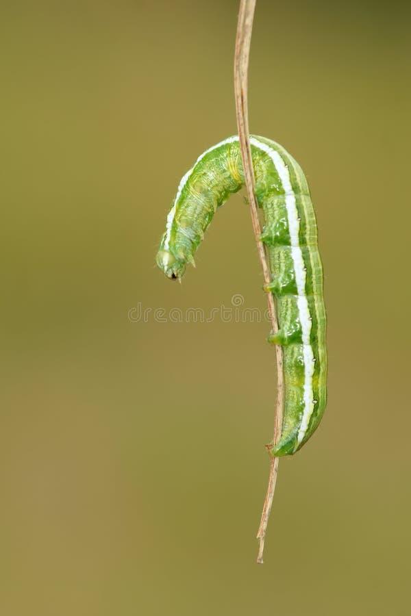 inchworm imagens de stock