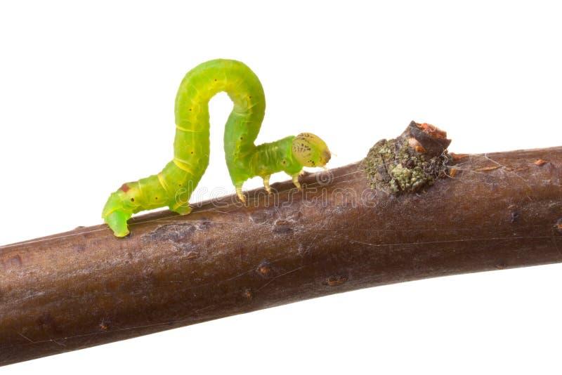 Inchworm die op een tak loopt royalty-vrije stock fotografie