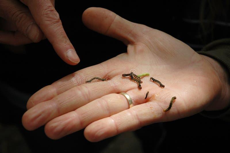 Inchworms royalty-vrije stock afbeeldingen