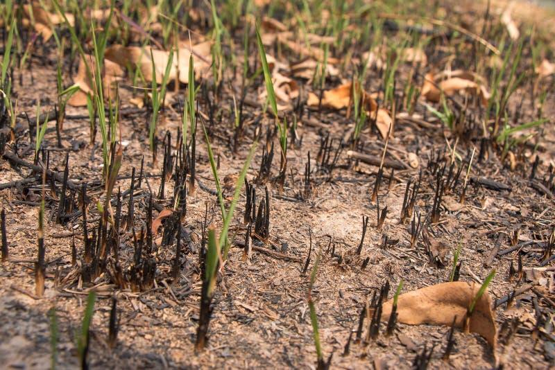 Incinérez et avez brûlé le champ d'herbe rectifié après le feu photographie stock libre de droits