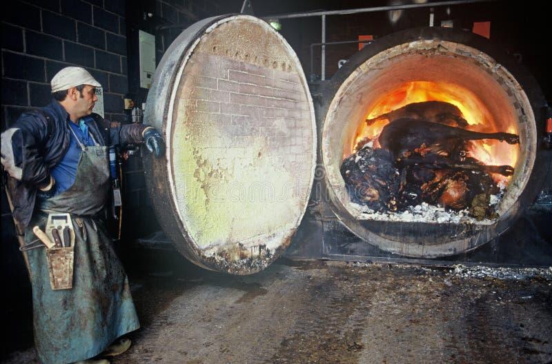 Incineração de vacas contaminadas EBS fotografia de stock