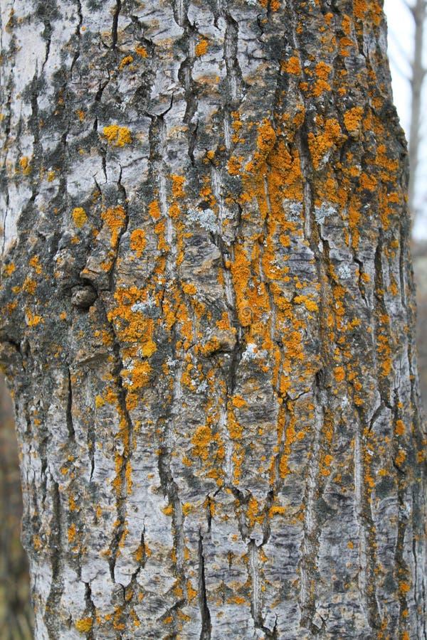Incisione del muschio su un pioppo nero di Manitoba fotografia stock