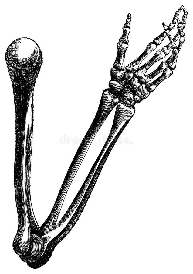 Incisione dell'annata delle ossa di braccio su bianco illustrazione di stock