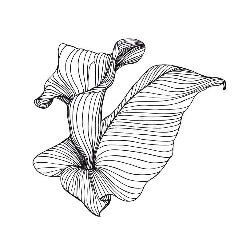 Incisione della calla disegnata a mano del fiore royalty illustrazione gratis