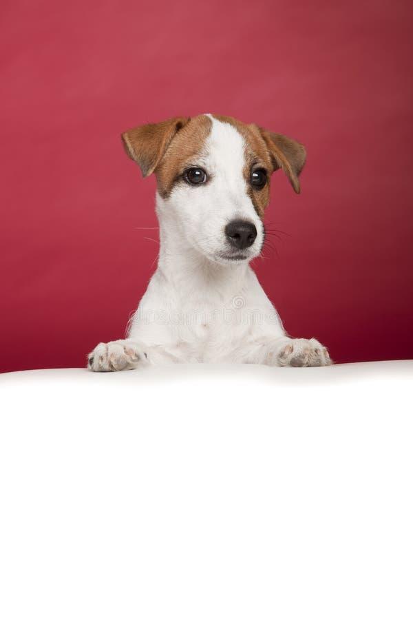 Inclinação bonito do terrier de russell do jaque imagem de stock royalty free